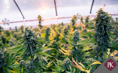 Biological Assets in the Cannabis Industry